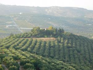 Heraklion, Skalani - Myrtia area. For sale an area of 48.000 sqm with 1100 olive trees.